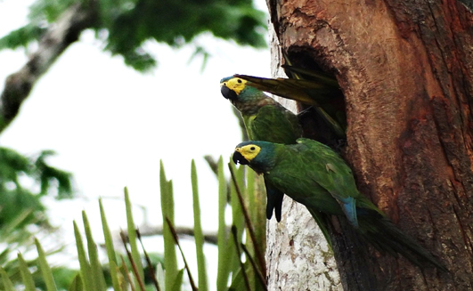 Two parrots in the tree